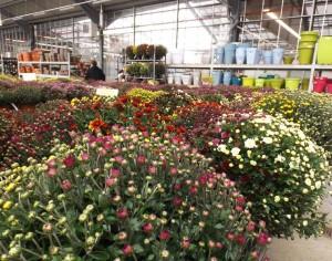 chrysanthèmes tricolores