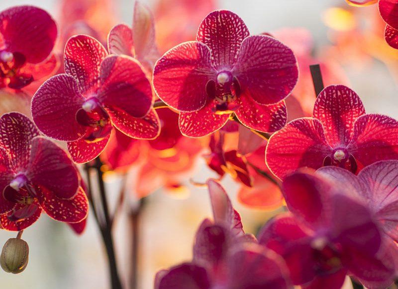 Foire aux orchidées