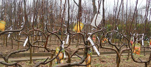 Plantation arbre racines nues