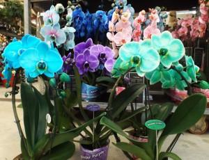 Phalaenopsis colorées