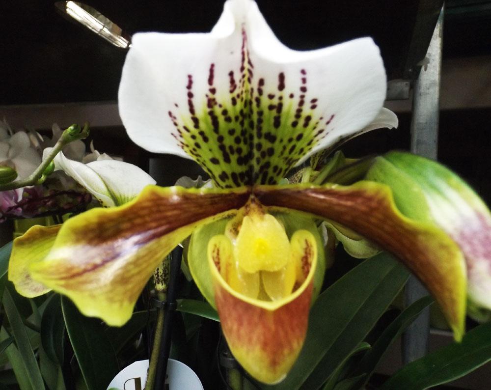 Foire aux orchid es au comptoir du jardinier - Orchidee sabot de venus ...
