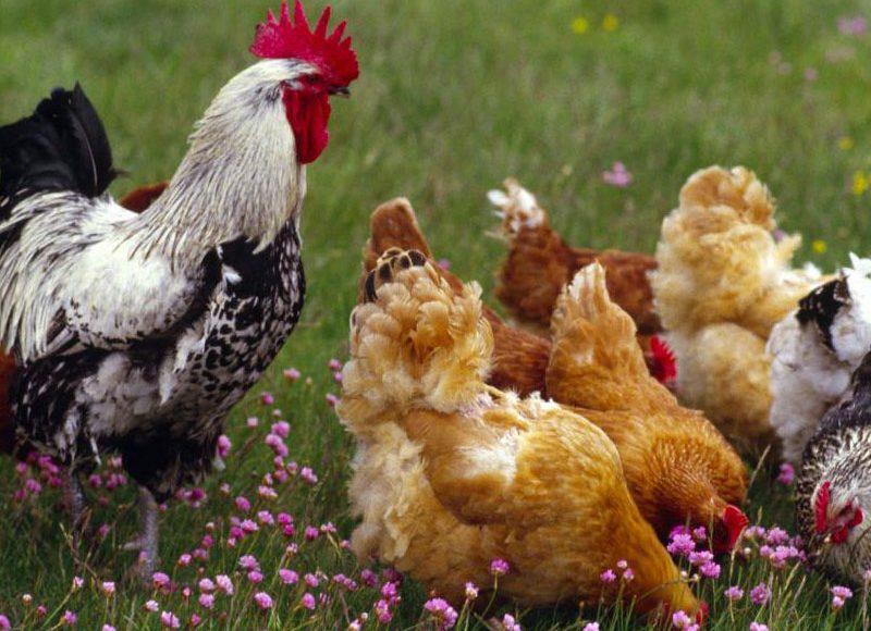 Comment nourrir sa poule