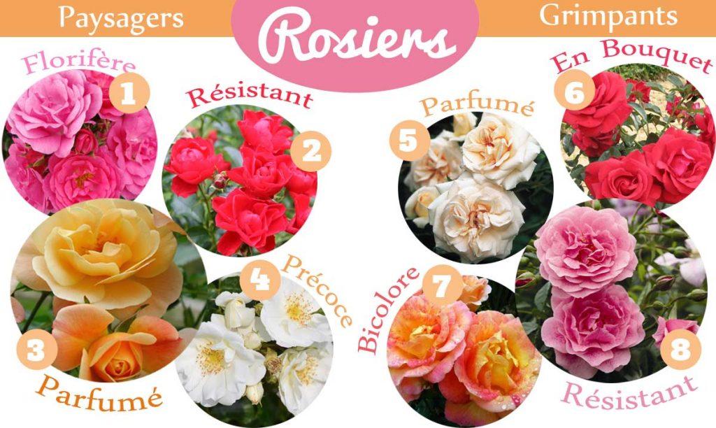 Variétés de rosiers