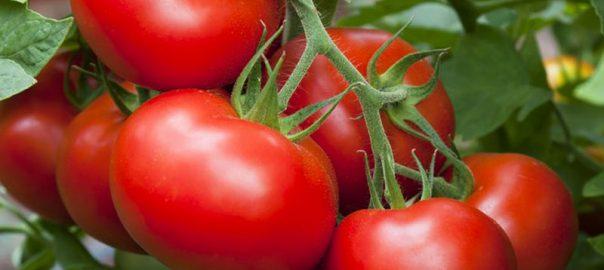 Choisir la bonne variété de tomate