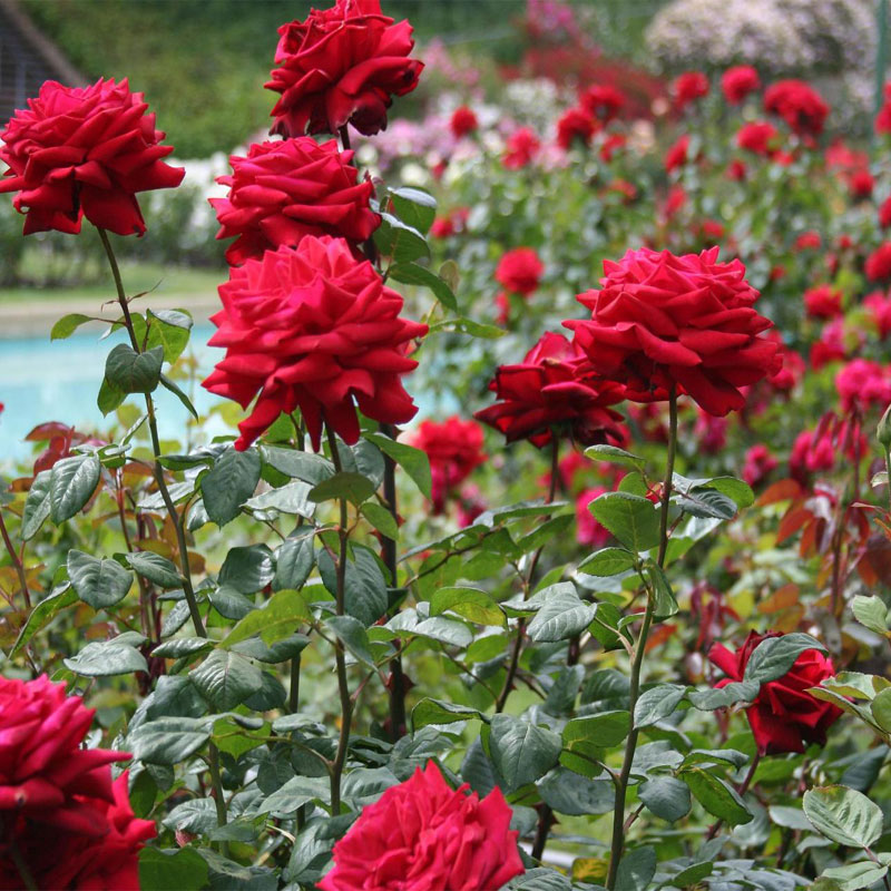 Un rosier dans votre jardin au comptoir du jardinier - Planter un eucalyptus dans son jardin ...