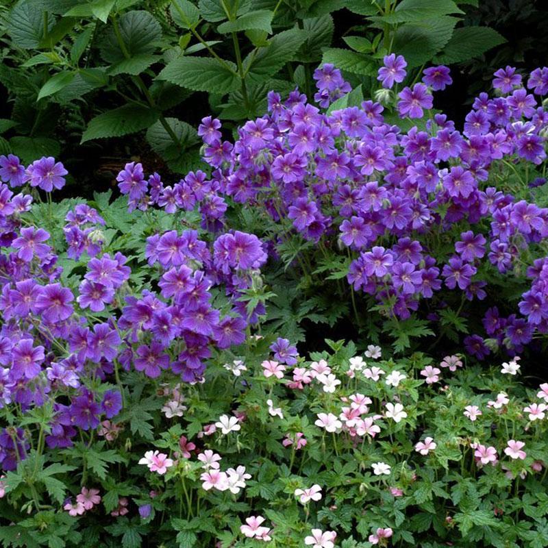 Les plantes vivaces au comptoir du jardinier for Entretien plantes vivaces