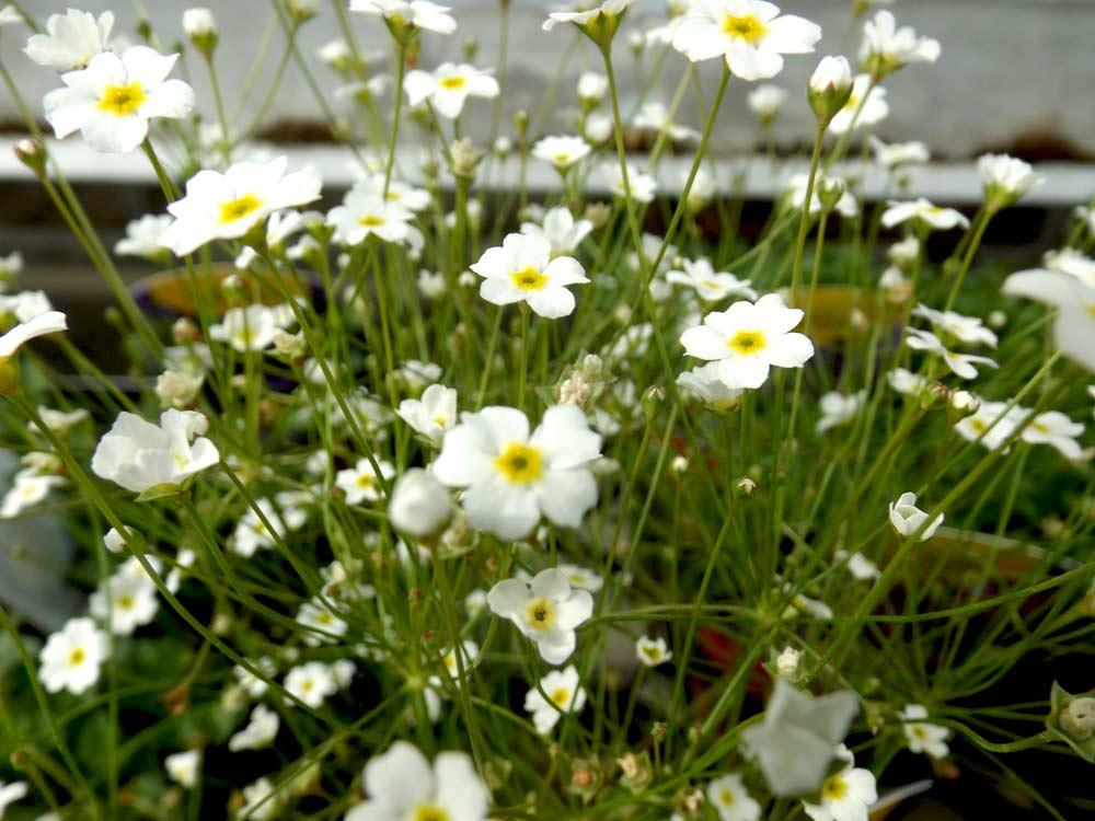 Les plantes vivaces au comptoir du jardinier for Plante de jardin vivace