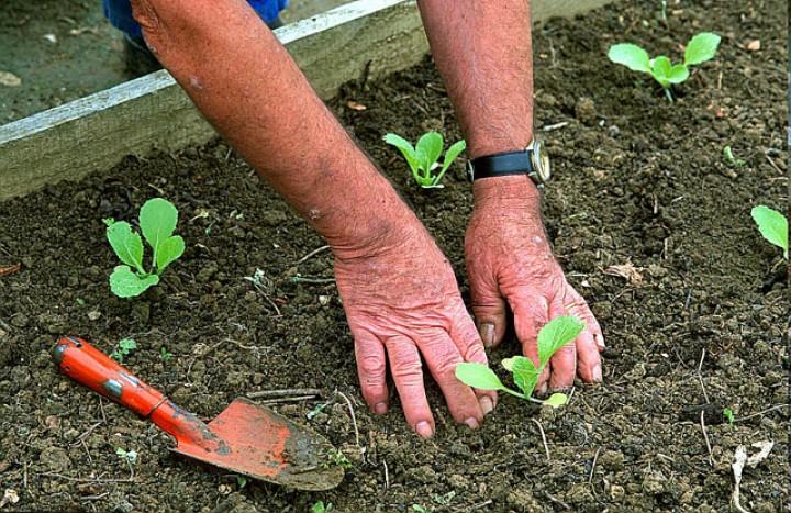 Conseils plantation choux pommés