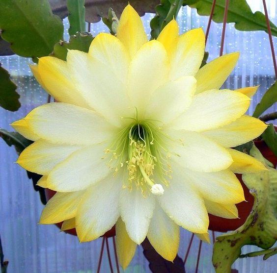 'Epiphyllum