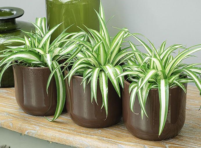 Plante dépolluantes