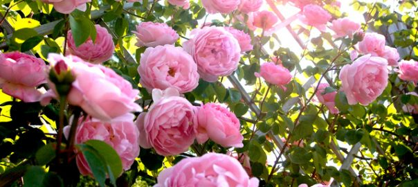 Plantez ses rosiers racines nues