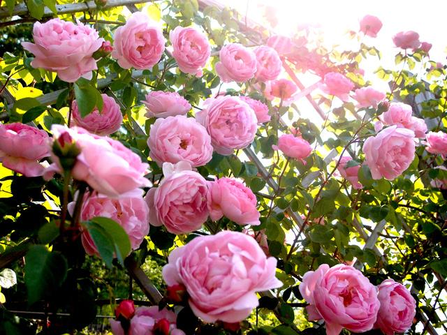 Plantez vos rosiers en racines nues au comptoir du jardinier - Taille des rosiers buisson ...