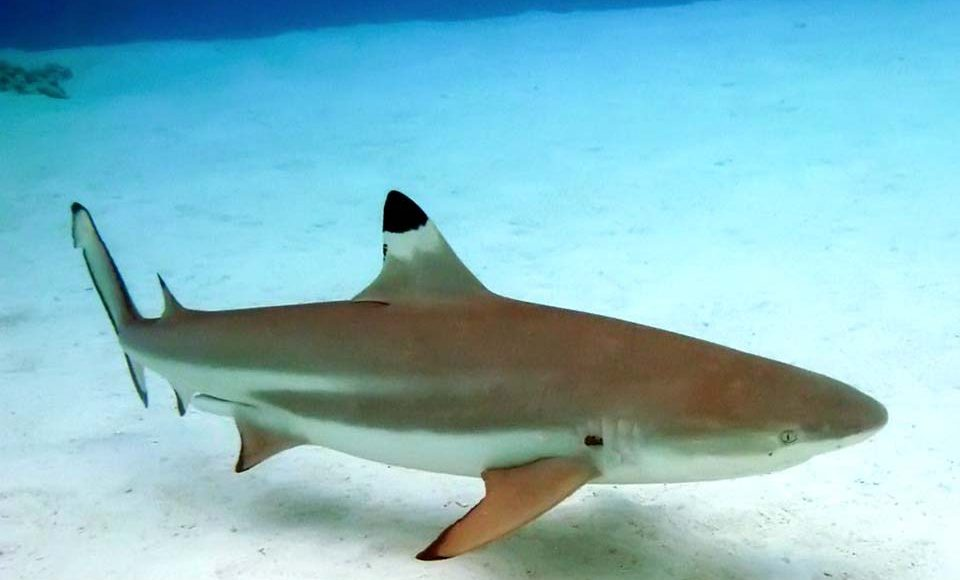 Vente de requins blanc